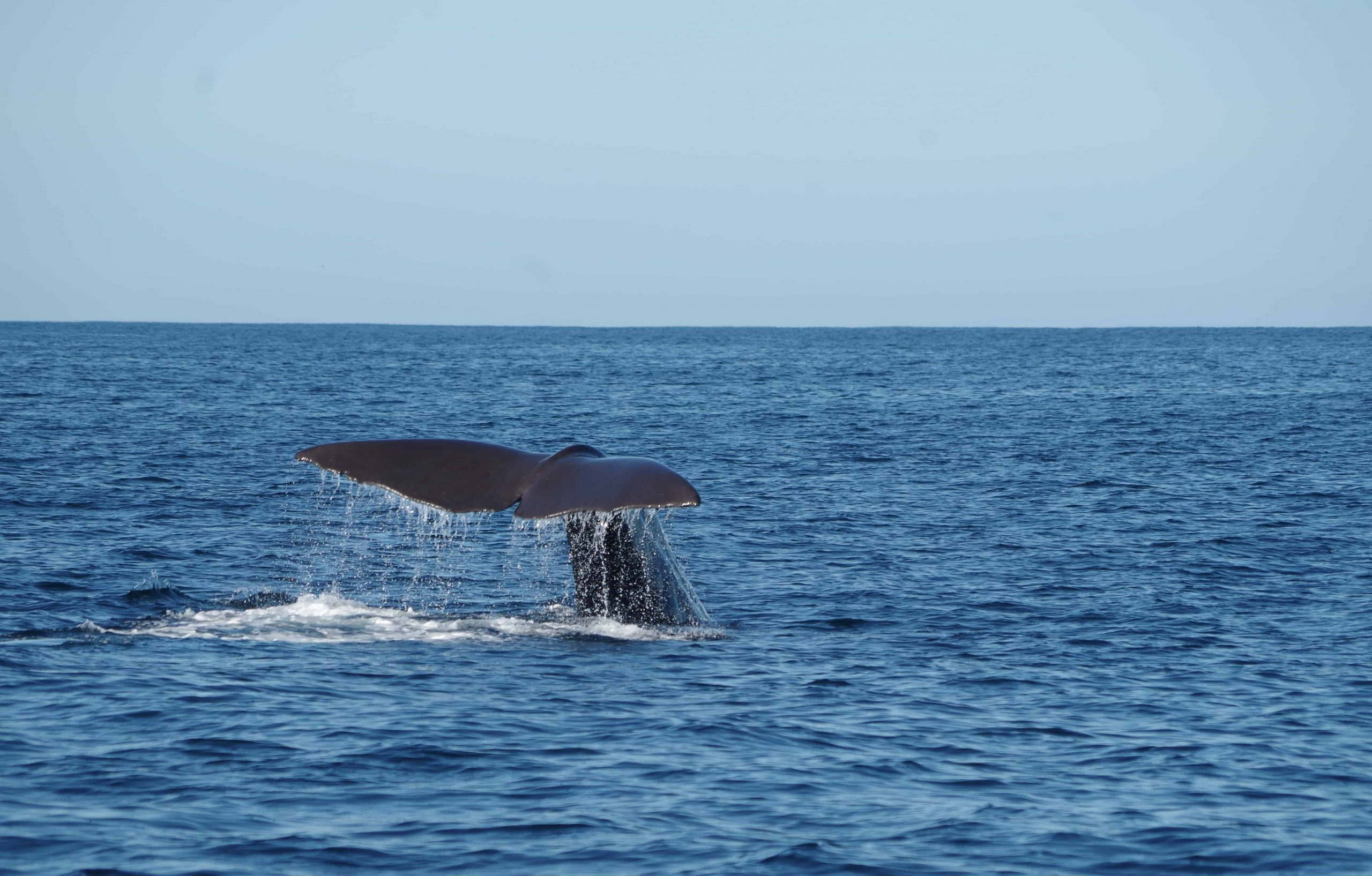 The tail of a whale in the ocean near Kaikoura, New Zealand