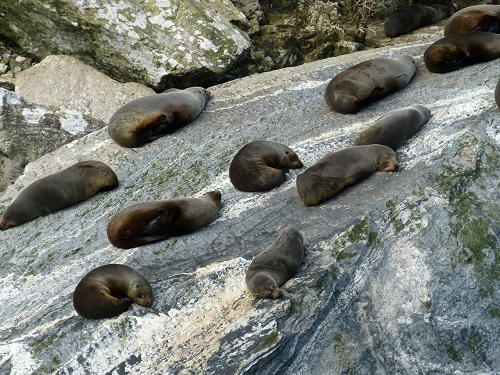 Fur seals lying on rocks in the sun at Milford Sound